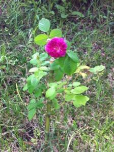 06 Rosa feliz